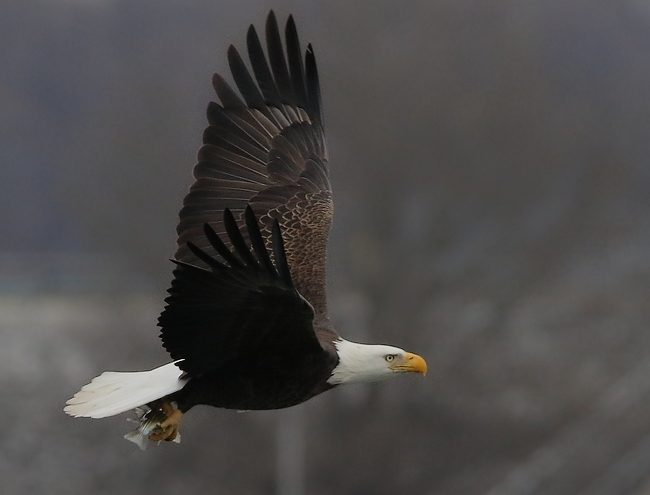 Bald Eagle Flying With Fish